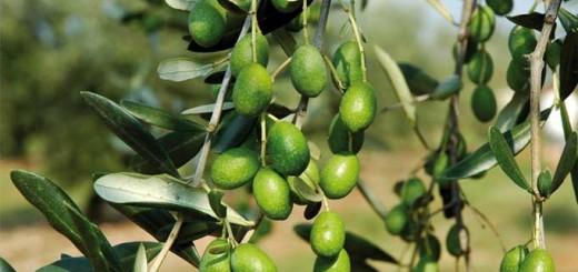 olivicoltura-castel-viscardo-monterubiaglio
